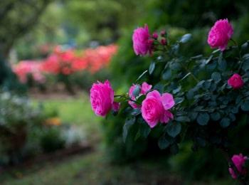 программа Загородный: Царица сада Роза флорибунда Нина Вейбул