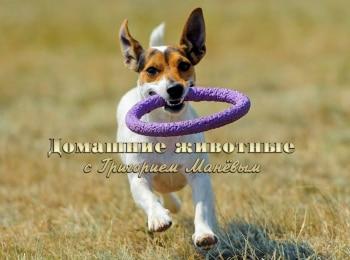 программа ОТР: Домашние животные с Григорием Маневым