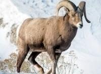 программа Охота: Горная охота на камчатского барана 3 серия