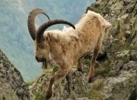 программа Охота: Горная охота на средне кавказского и кубанского тура 4 серия