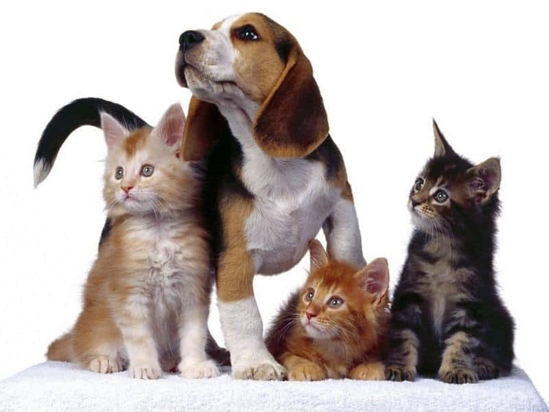Кто-в-доме-хозяин?-Шпиц-по-кличке-Муни-Конфликт-двух-кошек-Нильский-крылан