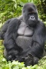 Лино Вентура и фильм Привет вам от гориллы